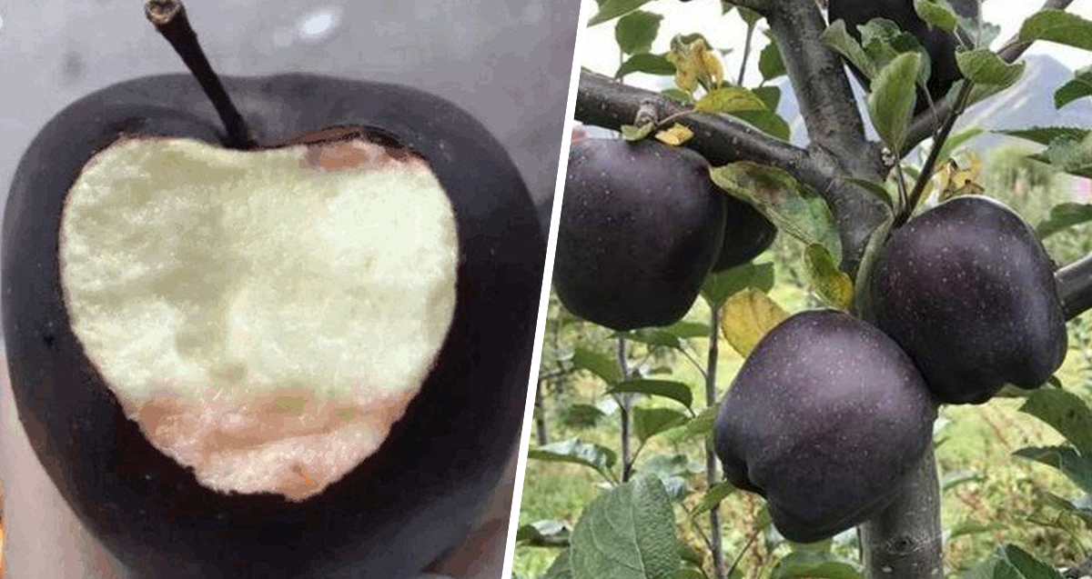 Black Diamond Apples, a rare variety that can not be seen commonly as the other apples.
