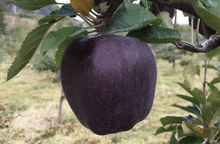 Back Diamond Apples are processed, undergo many tests