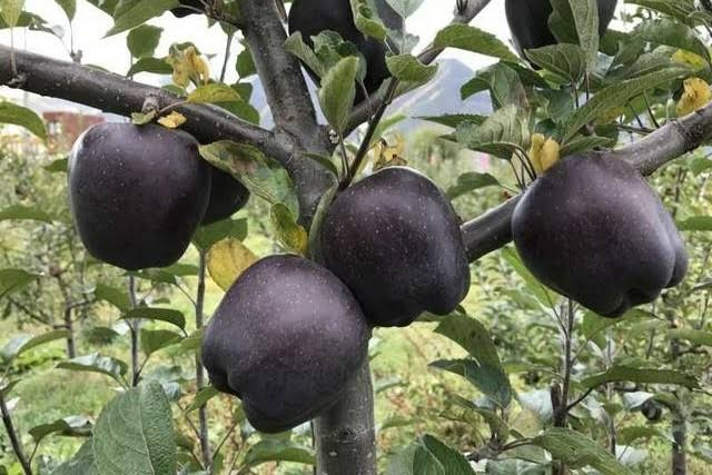 The deep purple color they obtain comes from the sunlight which can only be gotten on the mountain areas, where enough sunlight makes them looking rare with astonishing deep purple hue
