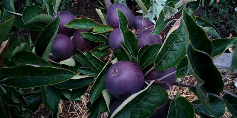 Deep-purple Apples are hard to grow.