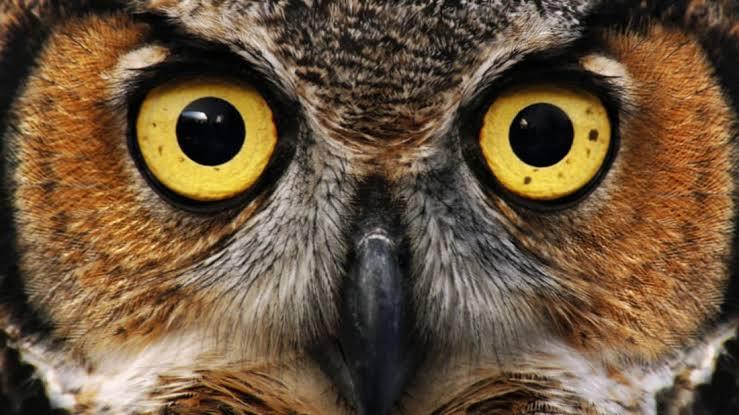 Owls do not have eyeballs but Eye tubes.