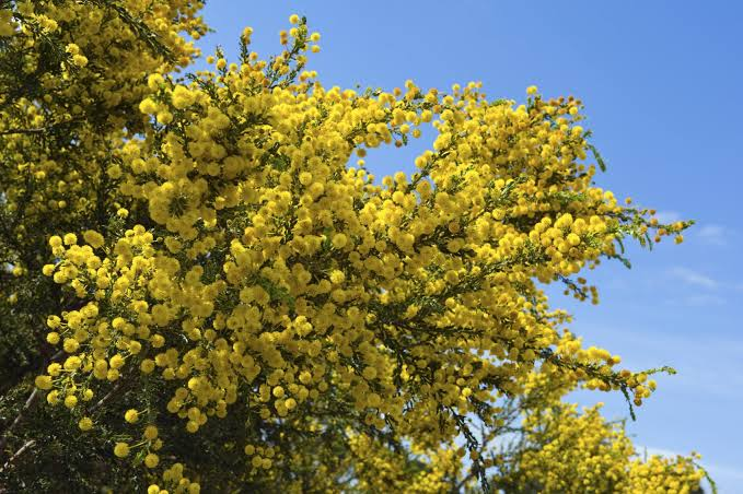 Acacia trees probably grow in African Savannah, have a powerful immune system that can get them out of danger.