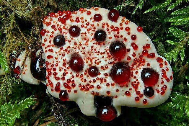 Mushroom  Hydnellum Peckii, especially found in Pacific Northwest, which has a unique appearance.