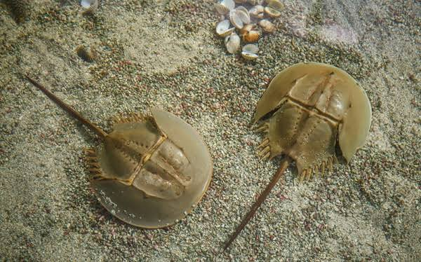 A Horseshoe Crab is an invertebrate animal that is considered to be the combination of a scorpion and a spider of the same kingdom of animals, Arthropoda. Horseshoe crabs are used to benefit humans and wildlife.