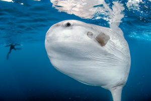 Researchers Studied Massive Ocean Sunfish Has Itty Bitty Larval Form